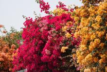 Kukkaloistoa Kapernaumissa