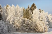 huurteiset puut