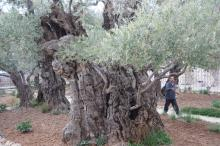Getsemane, vanha öljypuu
