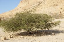 Akasiapuu