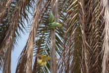 Häkistään karanneet papukaijat Kapernaumissa