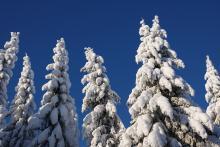 Lumiset kuuset