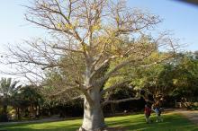 Vaalea pumpulipuu En-Gedissä